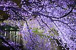 Visitors row boats as cherry blossoms are illuminated at Chidorigafuchi moat in Tokyo, Japan, April 5, 2016.  (Photo by Yuriko Nakao/AFLO)