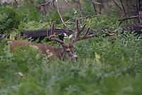Mule Deer Buck in velvet, in California on a summer day.