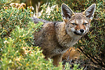 South American Gray Fox (Lycalopex griseus), Patagonia, Chile