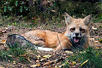 Red fox laying down yawning