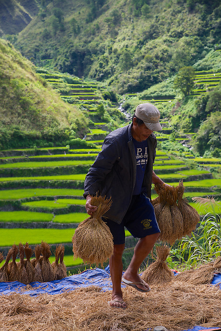 Drying rice on the road to Bontoc Mountain Province Rice Terraces Philippines