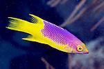 Bodianus rufus, Spanish hogfish, juvenile, Florida Keys