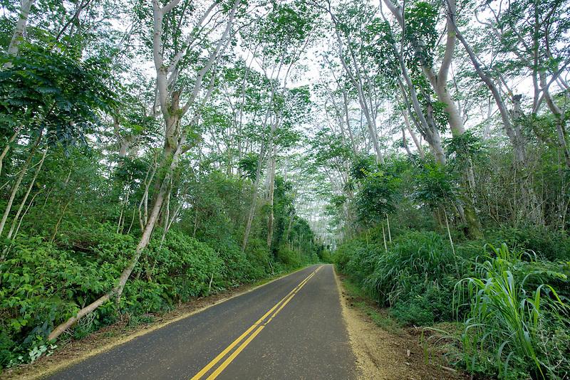 Highway 580 lined with trees. Kauai, Hawaii.