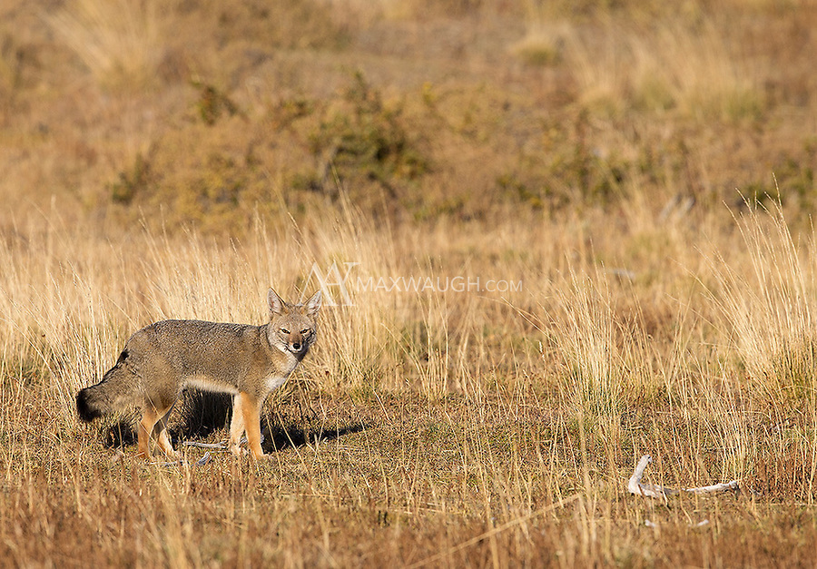 South American gray foxes are a common sight in Patagonia.