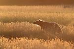 Brown Bear at Sunrise
