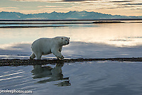 Polar bear walking the shore of the Beaufort Sea in Alaska with the Brooks range in the background Alaska Polar Bear Photography Prints