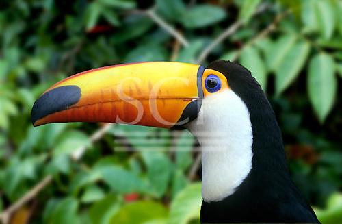 Amazon, Brazil. Yellow-beaked toucan with white throat; Iguassu, on the Brazil-Paraguay border.