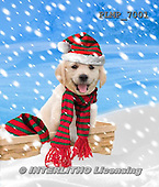 Marek, CHRISTMAS ANIMALS, WEIHNACHTEN TIERE, NAVIDAD ANIMALES, photos+++++,PLMP7001,#XA# dogs santas cap