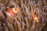 Dumaguete, Dauin, Negros Oriental, Philippines; a pair of false clown anemonefish in an anemone