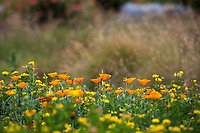 California Poppies, Eschscholzia californica flowering in wildflower meadow with yellow Birdsfoot Lotus, Crescent Farm,  Los Angeles County Arboretum and Botanic Garden