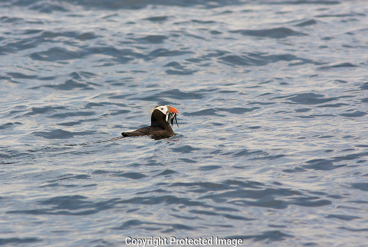 A Tufted Puffin fills its beak with fish after diving in the waters of Discovery Bay near Protection Island. Protection Island National Wildlife Refuge.Protection Island Refuge is located near the mouth of Discovery Bay in the Strait of Juan de Fuca in Jefferson County, Washington. Approximately 70 percent of the nesting seabird population of Puget Sound and the Strait of Juan de Fuca nest on the island, which includes one of the largest nesting colonies of rhinoceros auklets in the world and the largest nesting colony of glaucous-winged gulls in Washington. The island contains one of the last 2 nesting colonies of tufted puffins in the Puget Sound area. About 1,000 harbor seals depend upon the island for a pupping and rest area.