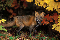 Red Fox in autumn maples with vole in mouth..Cross colour phase. Minnesota..(Vulpes vulpes).