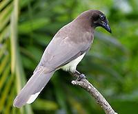 Brown Jay