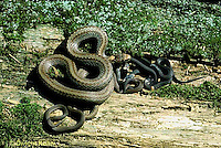 1R01-023z  Red-bellied Snake - mother with newly born young - Storeria occipitomaculata