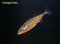 1S12-072z  Three Spined Stickleback - male with reproductive colors - red belly, blue eyes - Gasterosteus aculeatus