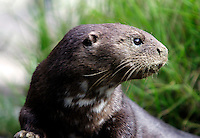 Spotted necked otter, Africa<br />