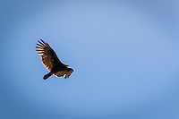 Riding the thermals, a Turkey vulture floats over the regional park, Cull Canyon Regional Recreation Area, bordering Castro Valley, California.