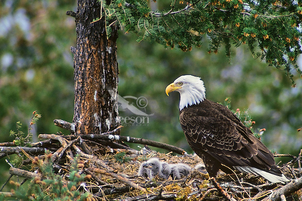 Bald eagle nest with young eaglets, May, Western N.A.