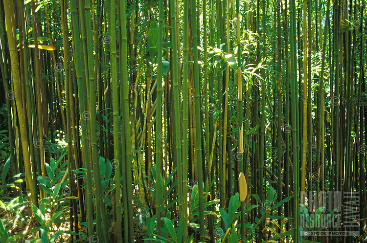 Bamboo forest on Manoa Cliffs Trail, near Honolulu, Oahu