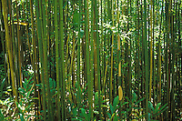 Bamboo forest on Manoa Cliffs Trail, near Honolulu, Oahu