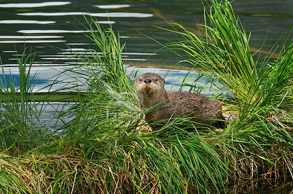 Northern River Otter pup (Lontra canadensis) pup.  Western U.S., June..