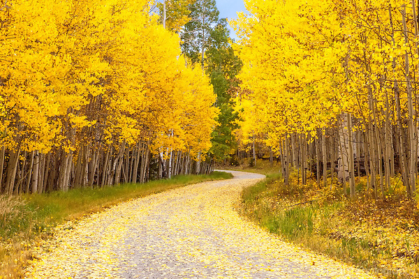 Yellow Aspens lining a mountain road