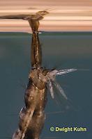 MQ17-500z  Mosquito larva, close-up of air siphon, Ochlerotatus japonicus [Aedes japonicus].