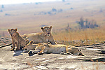 Two Lionesses & Cub