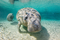 Florida Manatee, Trichechus manatus latirostris, A subspecies of the West Indian Manatee. Manatees congregate en masse at the Three Sisters Sanctuary. Crystal River, Florida.