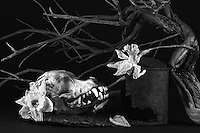Still life with dog skull, rusted can, dead manzanita, withering daffodils, scorched granite B&W