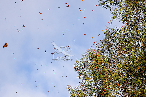 Western Monarch Butterflies (Danaus plexippus) flying on warm day near wintering area along California coast.