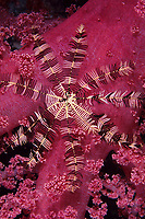 Crinoid or feather star, Oligometra serripinna over a soft coral, Egypt, Red Sea, Northern Africa