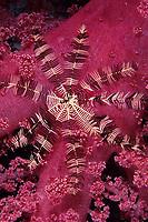 Crinoid or feather star, Oligometra serripinna over a soft coral, Egypt, Red Sea, Northern Africa