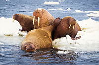 walrus, Odobenus rosmarus, group on the pack ice, Bering Sea, Arctic Alaska