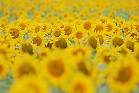 Common Sunflower, Helianthus annuus, field in bloom, Texas, USA