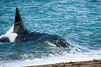 orca or killer whale, Orcinus orca, approaching beach, note large dorsal fin, Peninsula Valdes, Patagonia, Argentina, South Atantic