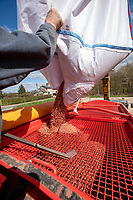 Filling drill with barley seed - Suffolk, April