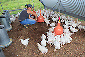 Elevage de volailles, poulets de 4 semaines (Christelle Appaganou, éleveuse à Bourail)