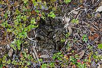 Newly hatched Black Turnstone (Arenaria melanocephala) chicks in the nest. Yukon Delta National Wildlife Refuge, Alaska. July.
