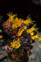 Small holothurian or sea cucumber, Colochirus robustus, Lembeh Strait, North Sulawesi, Indonesia, Pacific Ocean