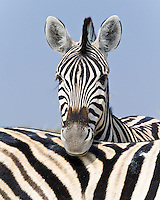 Burchell's Zebra, Etosha NP, Namibia
