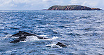 Family of Whales. Humpback Whales travelling on their southern migration back down the east coast of Australia. Seen during a cruise on Tamboi Queen, Nelson Bay, Port Stephens, NSW, Australia