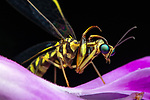 Pictured:  Mantisfly<br /> <br /> A series of spellbinding close-up images of insects make them look like aliens.  Amateur photographer Marcus Kam Seong Sit captured the macro shots of a range of bugs including the longhorn beetle and bird dung spider. <br /> <br /> The pictures detail the intricate features and patterns of the insects - from the vibrant green of a dragon head caterpillar to the delicate hairs on an orb web spider.  SEE OUR COPY FOR DETAILS.<br /> <br /> Please byline: Marcus Kam/Solent News<br /> <br /> © Marcus Kam/Solent News & Photo Agency<br /> UK +44 (0) 2380 458800