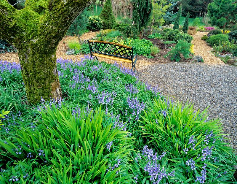 Bench in garden with purple Scilla flowers. Northwest Garden Nursery. Eugene, Oregon.
