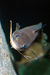 red hake swimming against deep ocean boulder vertically looking at camera, vertical