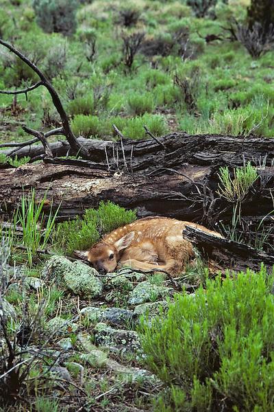Very young Rocky Mountain Elk calf (Cervus elaphus) lying quietly until mom returns.  Western U.S., May.