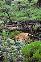 Very young Rocky Mountain Elk calf (Cervus elaphus) lying quietly until mom returns.  Western U.S., May.