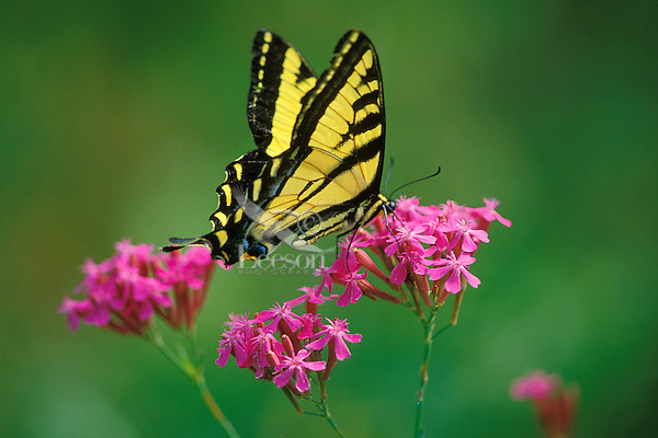 Western Tiger Swallowtail (Papilio rutulus), Male, Summer.   Pacific Northwest.