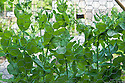 Mangetout 'Oregon Sugar Pod', mid June. Wire netting supported between posts gives the peas support as they climb.