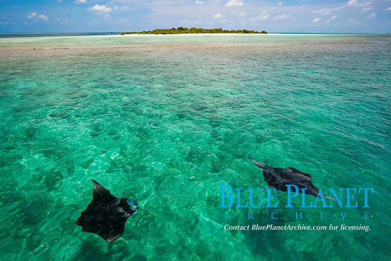 reef manta rays, Mobula alfredi, feeding on plankton, with Hanifaru Island in background, Hanifaru Lagoon, Baa Atoll, Maldives, Indian Ocean